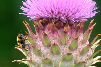 thistle-bee-the-one