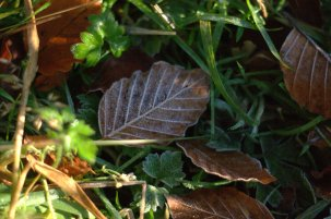 leaf frost